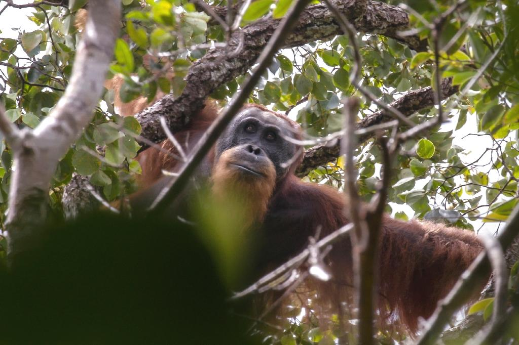 A billion-dollar hydroelectric dam development in Indonesia that threatens the habitat of the world's rarest great ape has sparked fresh concerns about the impact of China's globe-spanning infrastructure drive.  The site of the dam in the Batang Toru rainforest on Sumatra island is the only known habitat of the Tapanuli orangutan, a newly discovered species that numbers about 800 individuals in total.  Indonesian firm PT North Sumatra Hydro Energy is building the power plant with backing from Sinosure, a Chinese state-owned enterprise (SOE) that insures overseas investment projects, and the Bank of China, company documents show.