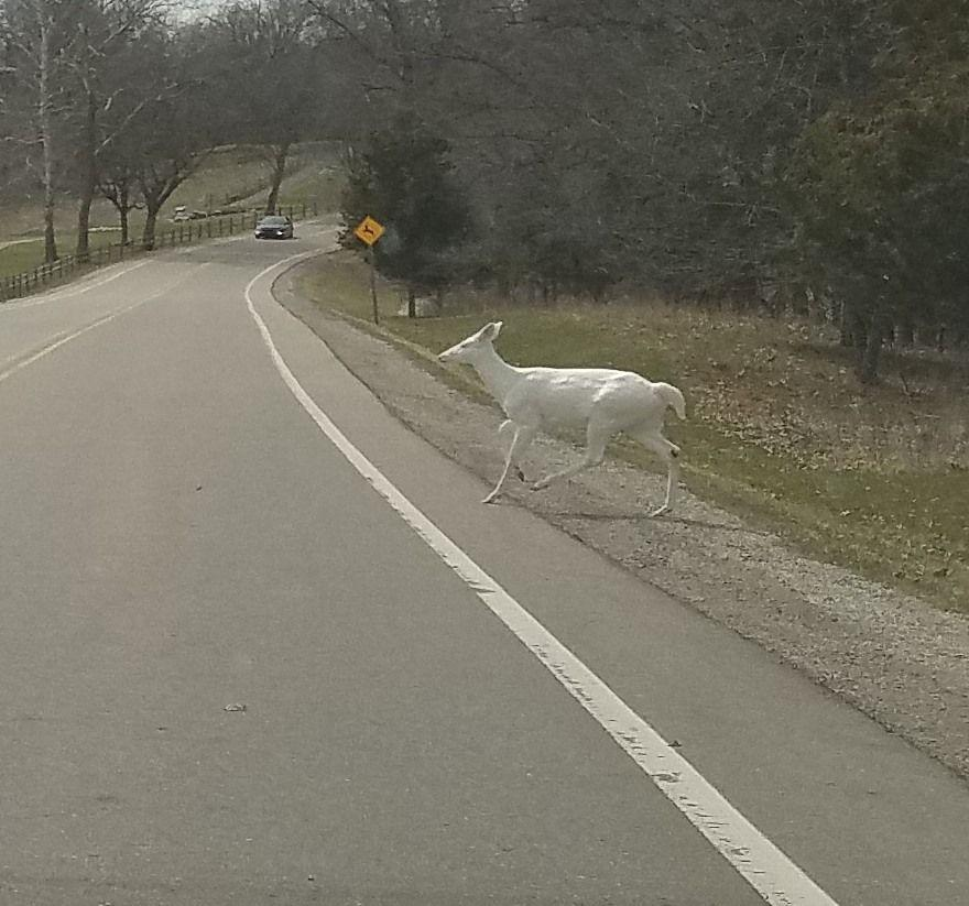 A rare albino deer born inKensington Metroparks several years ago was spotted Wednesday afternoon bya Michigan man.