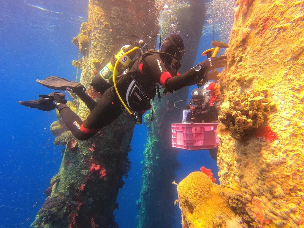 A dozen feet deep in the azure waters of the Red Sea, Israeli marine ecologist Assaf Zvuloni firmly grasped a bright red coral fastened to a metal jetty piling.  'We need to safeguard them,' Habary, of the Israel Nature and Parks Authority, said after the dive.  On a recent day, Habary, Gulf of Eilat regional manager for the authority, placed a chisel at the bottom of the red coral and carefully began hitting, causing a loud clacking to reverberate through the silent sea.