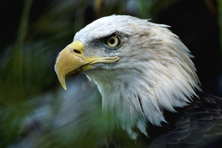 US President Donald Trump's administration on Monday finalized rollbacks to key provisions of the Endangered Species Act, a law supported by a large majority of Americans and credited with saving the gray wolf, bald eagle and grizzly bear.  The move was met with anger by environmental groups and Democratic politicians, including presidential candidate Joe Biden, while two states announced they would take legal action.  Amendments include removing a rule that automatically conveys the same protections to threatened species and endangered species, and allowing information on economic impact to be gathered when making determinations on how wildlife is listed.