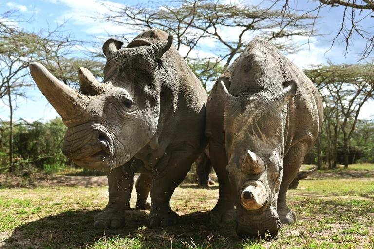 Veterinarians have successfully harvested eggs from the last two surviving northern white rhinos, taking them one step closer to bringing the species back from the brink of extinction, scientists said in Kenya on Friday.  Science is the only hope for the northern white rhino after the death last year of the last male, named Sudan, at the Ol Pejeta Conservancy in Kenya where the groundbreaking procedure was carried out Thursday.  Two females, Najin, 30, and daughter Fatu, 19, are the only survivors of the subspecies of white rhino, and live under 24-hour armed guard at Ol Pejeta.