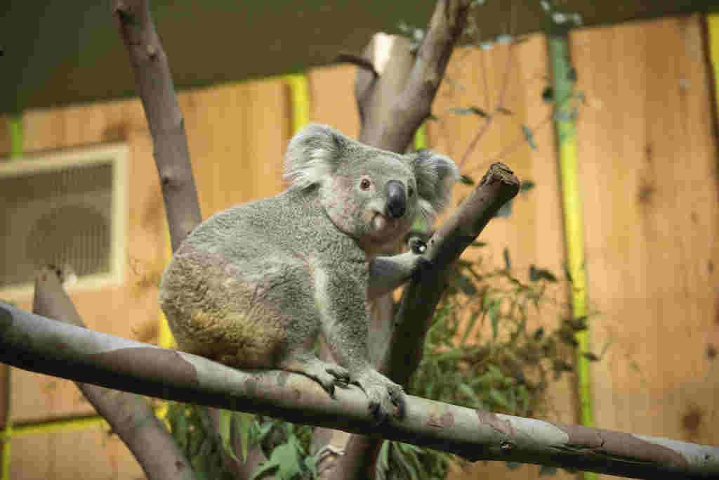 Wild koalas sickened by a deadly retrovirus are fighting the disease at the genetic level, scientists said Thursday, a rare evolutionary process unfolding before our eyes.  It is linked to Koala Immune Deficiency Syndrome (KIDS), which is similar to but less potent than AIDS in humans, and makes the animals susceptible to fatal cancers and secondary infections like chlamydia that renders them infertile.  Retroviruses work by inserting their genome into a host genome, but unlike HIV, KoRV-A also enters the animal's germ cells that produce sperm and eggs, meaning it gets passed down through generations.