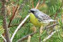 The federal government said Tuesday it will remove the Kirtland's warbler from its list of protected species, finding the small, yellow-bellied songbird had recovered more than half a century after being designated as endangered.  The U.S. Fish and Wildlife Service credited teamwork among numerous agencies and nonprofit groups with the survival of the warbler, which had fallen victim to its own picky habitat demands and competition from the predatory brown-headed cowbird.  'We've transitioned from bringing this species out of the emergency room to providing it with long-term stability,' said Dan Kennedy, endangered species coordinator with the Michigan Department of Natural Resources.