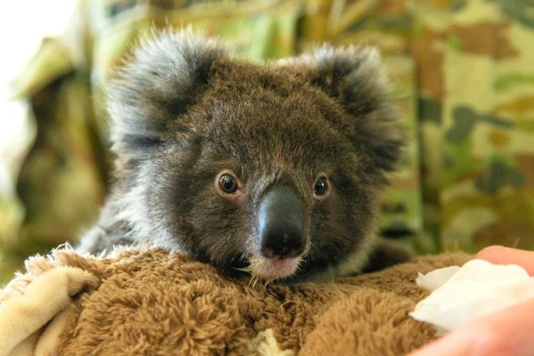 Thousands of people have signed a petition for koalas to be introduced to New Zealand to escape Australia's devastating bush fires, but the proposal has been given the thumbs down by officials.  A group calling itself the Koala Relocation Society said koalas were 'functionally extinct in Australia' but could thrive in New Zealand which has nearly 30,000 hectares planted in eucalypts.  There have been estimates of up to a billion koalas and other animals affected by the fires raging across Australia and there are concerns about how the survivors will cope given the loss of vegetation.