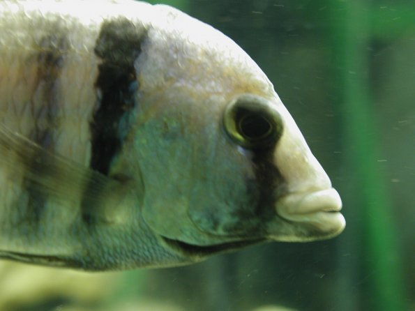 photo_big_aquarium-fish-11.jpg