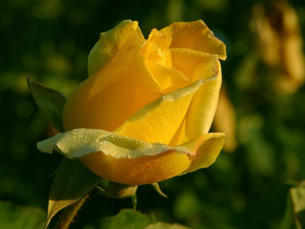photo_big_yellow-rose-2.jpg