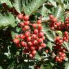 photo_big_red-tree-berries.jpg